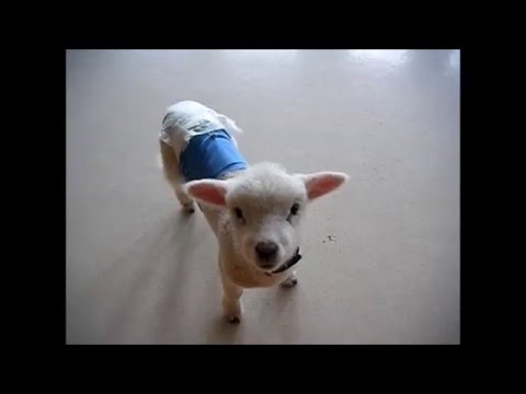 charlie-the-bottle-lamb-playing-with-dog-toys