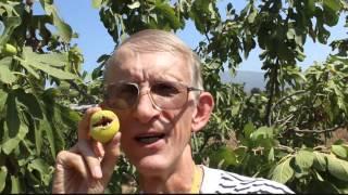 Fig  Trees Orchards in Turkey: Pollination With Blastophaga psenes (Agaonidae)