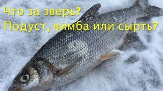 Зимняя рыбалка на Окуня на Чудском озере. Подуст, сырть или вимба?