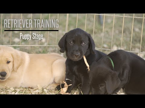 the-puppy-stage-with-brookstone-kennels-performance-gundogs---hunting-dog-training