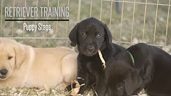 The Puppy Stage With Brookstone Kennels Performance Gundogs - Hunting Dog Training