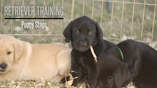 The Puppy Stage With Brookstone Kennels Performance Gundogs  Hunting Dog Training