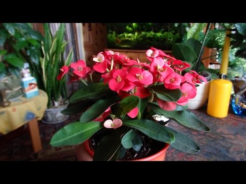 Цветок молочай в домашних условиях уход и размножение