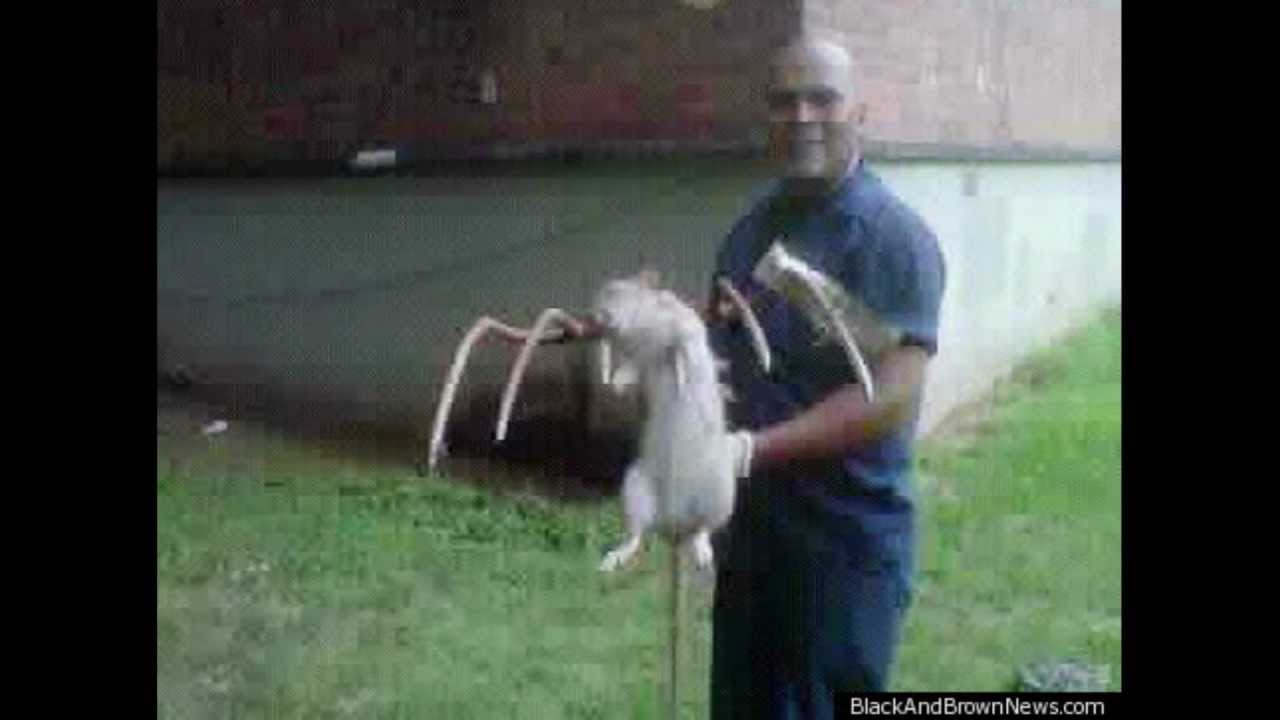 giant rats infest brooklyn! - youtube