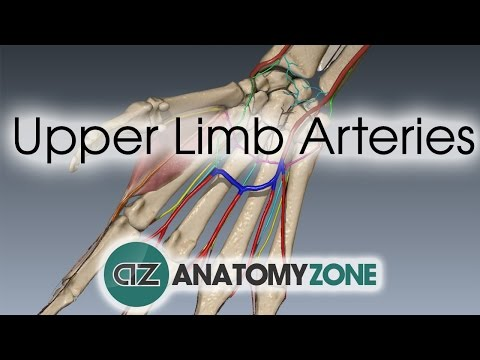 Upper Limb Arteries - Hand and Wrist - 3D Anatomy Tutorial
