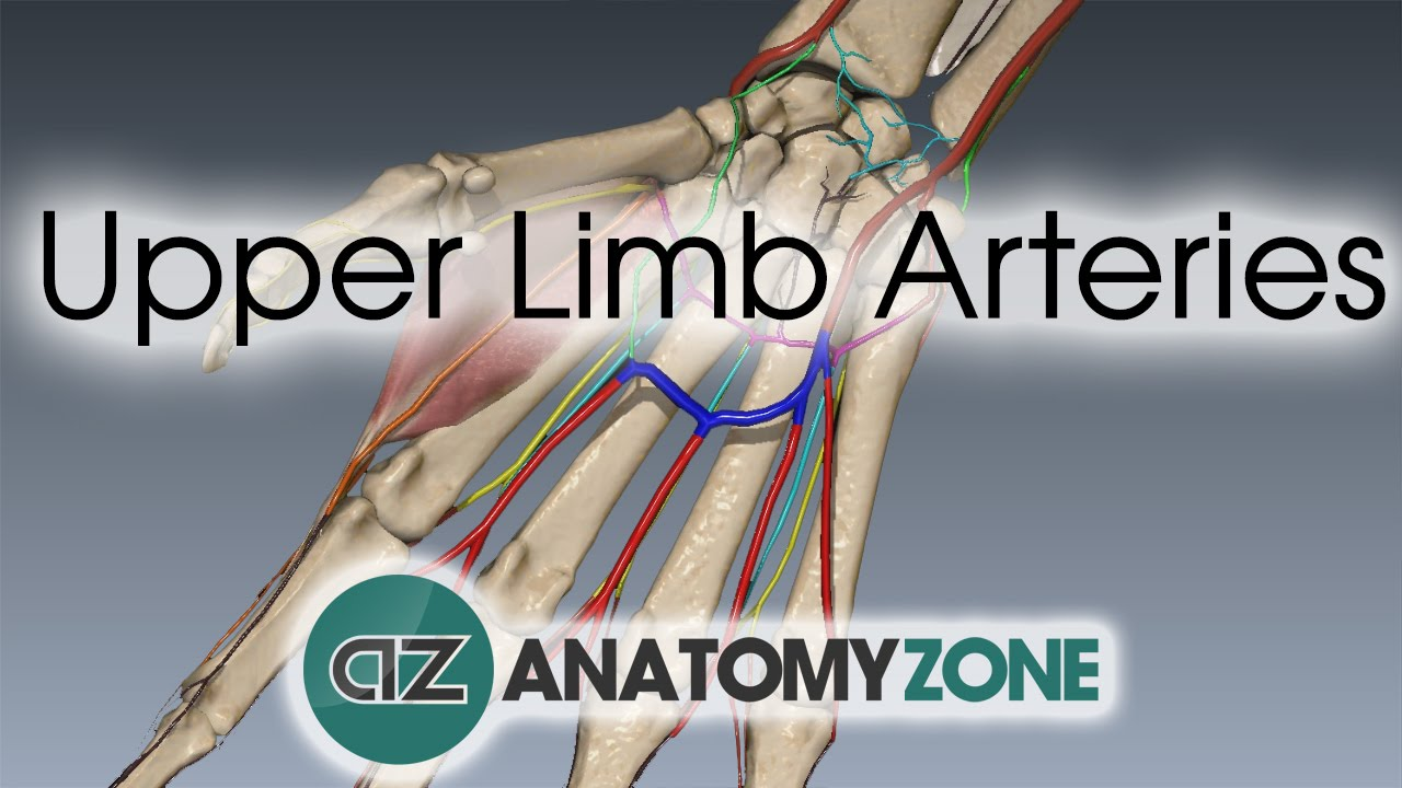 Upper Limb Arteries - Hand and Wrist - 3D Anatomy Tutorial - YouTube