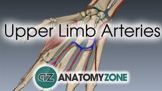 Upper Limb Arteries - Hand and Wrist - 3D Anatomy Tutorial thumbnail