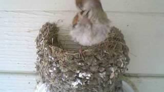 ツバメが巣立って空き家になった巣にスズメがやってきました。もうしば...