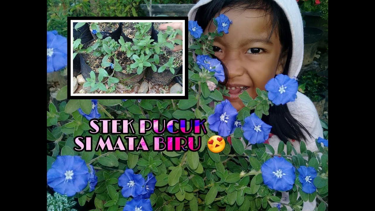Stek Pucuk Pada Bunga Mata Biru Blue Eyes Youtube
