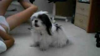 """Our shihtzu...yes...this is """"perrito"""" can howl! Well...at least he ..."""