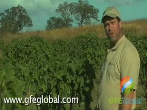What is Jatropha, oil seed for production of biodiesel