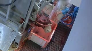 Abattoir de Mercantour - mise à mort des bovins sans étourdissement