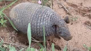 Três espécies diferentes de tatu, Peba, Rabo mole, Galinha,