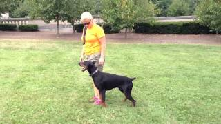Obedience Demonstration Doberman Pinscher For Sale Obedience Protection Trained