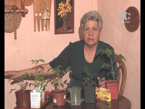 Рассада колеусов, эхинацеи,лобелии, агератума и др. - YouTube