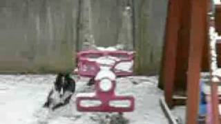 BorderCollie Aussie Playing in snow MOV