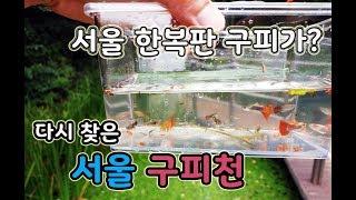 다시 찾은 서울 한복판 구피천 열대어 구피들은 어떻게 …