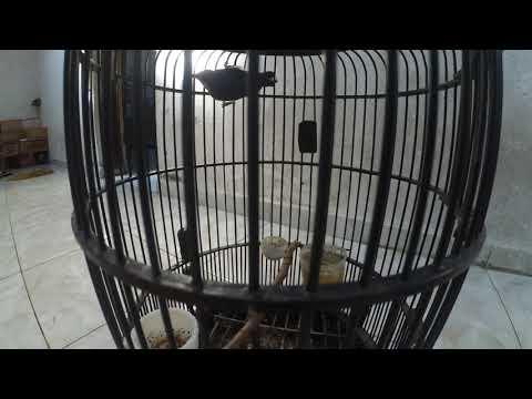 Burung prit gantil/kolibri kelapa/wit ceh