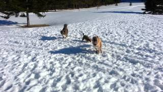 Three Afghan Kuchis loving the snow in Maine! :)