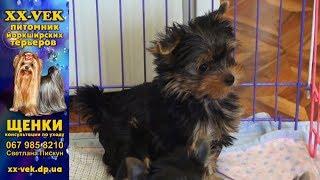 Купить щенка йоркширского терьера в питомнике XX-Vek