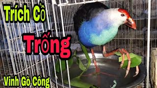 Bắt chim trích cồ trống ở cầu Rạch Miễu về ghép nuôi sinh sản/VGC