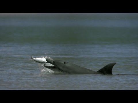 Dolphins Help Fishermen Catch Fish