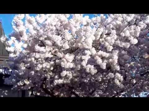 The Cherry Blossom Festival 2014 - ( 1 ) - Washington DC - 4/10/2014.