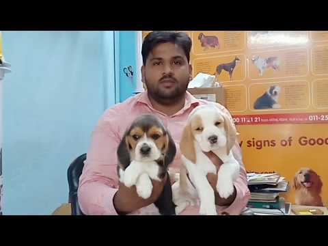 Top quality and heavy bone beagle Male puppy available in Delhi and ncr..9811962478