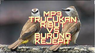Download Lagu MP3 KOMBINASI TRUCUKAN RIBUT VS BURUNG KEJEPIT || suara jernih paling dicari pikst burung mania mp3