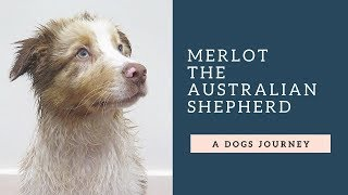 Australian Shepherd Red Merle: From Puppy to 1 year old