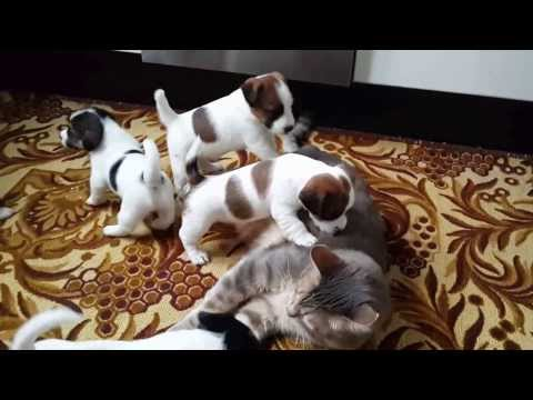 Jack Russell Puppies playing with cat