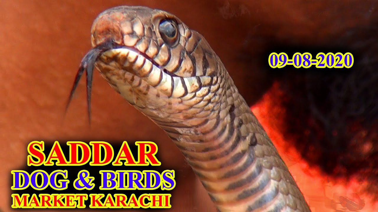 Download DOGS AND EXOTIC BIRDS MARKET SADDAR KARACHI 9-8-20 SNAKE AND EXOTIC BIRDS LATEST UPDATES VIDEO