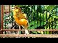 Masteran Kenari Hardcore Lagunya Cadas Cocok Untuk Burung Lomba Best Canary Singing  Mp3 - Mp4 Download