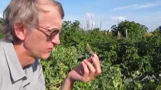 видео Насекомые в огороде