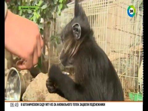 Жизнь в зоопарке: как теплолюбивые обезьянки адаптируются к климату Еревана