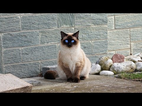 How to Care for a Siamese Cat - Dealing with Breed Specific Issues
