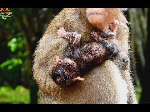Newborn Baby Monkey Just Born Midnight Sharking Cool in Small Rain .