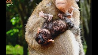 Newborn Baby Monkey Just Born Midnight Sharking Cool in Small Rain .