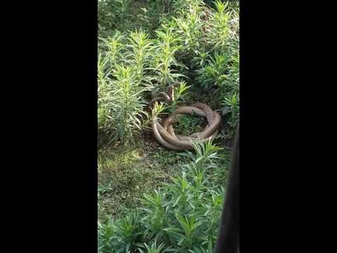 Giant Snakes Mating Live | Lokanthali | Bhaktapur | Nepal