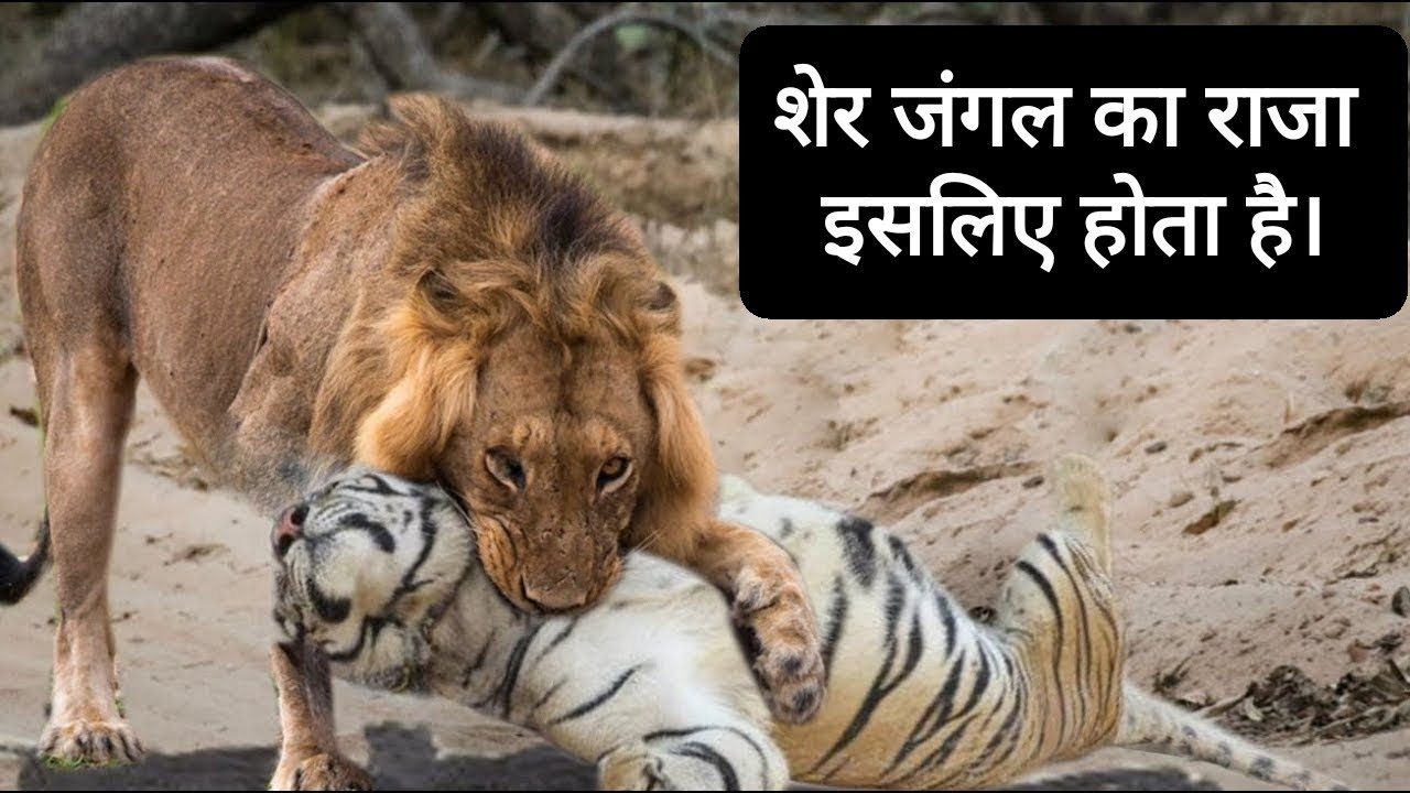 शेर और बाघ मे कौन ज्यादा खतरनाक है ? Who is more dangerous between a lion and a tiger?