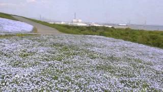 ひたち海浜公園 ネモフィラの丘 ネモフィラの丘 検索動画 21