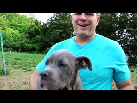 Basic Ear Care for Mastiff Dogs