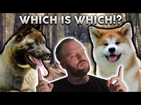 AMERICAN AKITA or JAPANESE AKITA! What's The Difference??