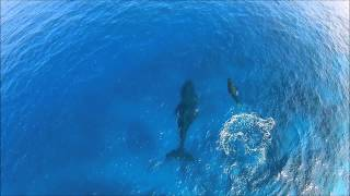Mother and Baby Whale off of Kaupulehu Coast Video