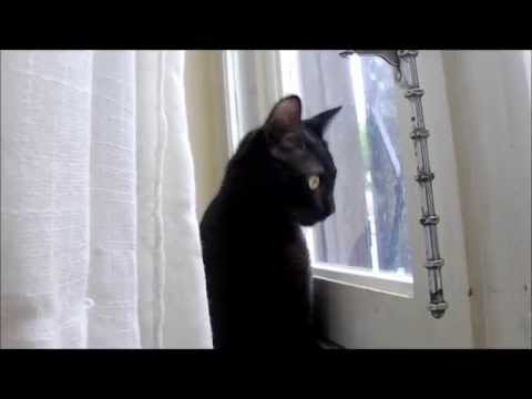 Chat Qui Miaule, Miaule Et Miaule !!! / Cat Meowing !!!
