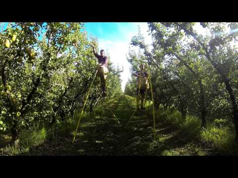 Fruit Picking, Shepparton, Australia - Pears And Apples Picking - GOPRO