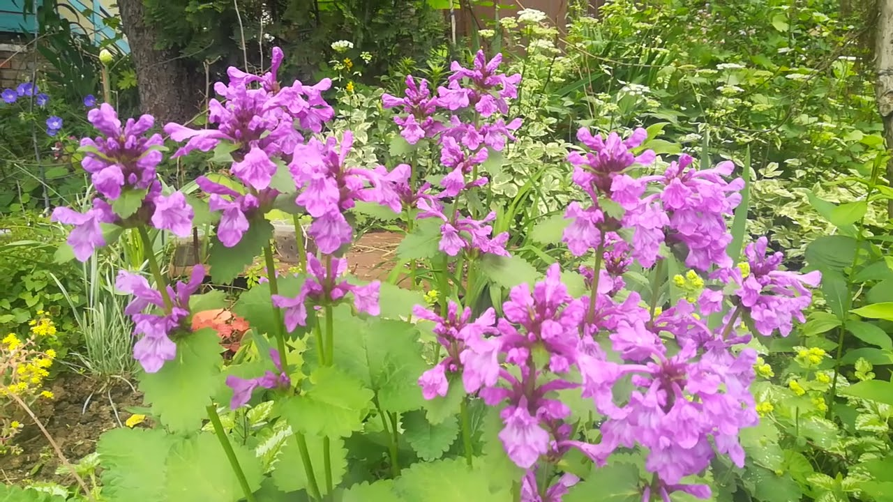 Топ - 10 моих самых красивых и не прихотливых многолетников в моём ленивом саду в начале июня. 2021