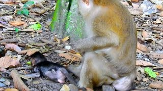OMg! What Baby Timo Doing In Front Of Pigtail Monkey, Tima doesn't Care About Baby Timo