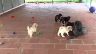 Akc Standard Poodle Puppies -  Brown Brindles - Black Brind