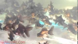 Золотая рыбка   форма Чёрный Телескоп  Аквариумные рыбки  Аквариумистика(Самые лучшие видео с животными со всего мира! Подписывайтесь на наш канал!, 2015-05-21T11:29:06.000Z)